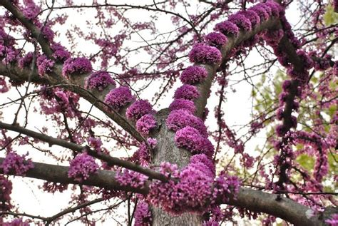 american redbud tree a classic this spring flowering