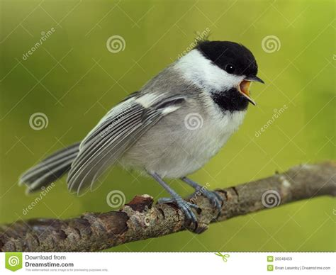 young black capped chickadee begging for food stock image