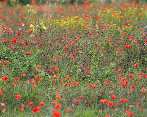 desktop hd wallpapers perennial wild flowers