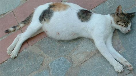 cat pregnancy how to tell if your cat animais gata barriguda