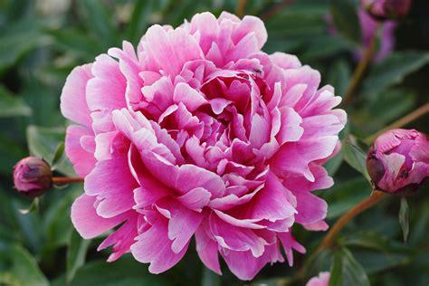 Bunga Poppy Pink Blossom bujorul 187 lavandar