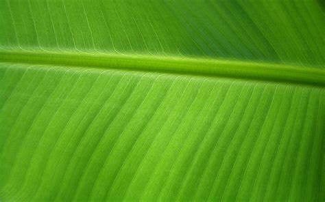 bananas leaf wallpaper banana leaf by orodrethc on deviantart