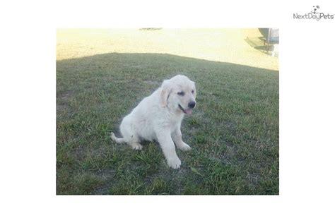 light golden retriever puppies golden retriever puppy for sale near lansing michigan 18a5fa32 4881