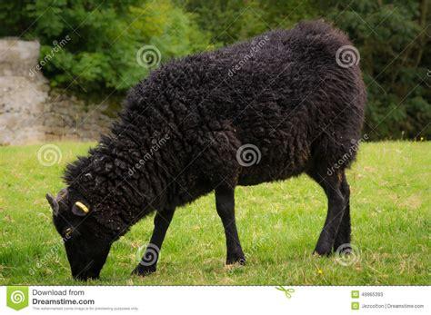imagenes de ovejas negras ovejas negras foto de archivo imagen 49965393