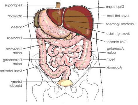 organ anatomy human organs