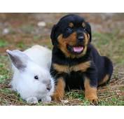 Rottweiler  Dogs Breeds Pets