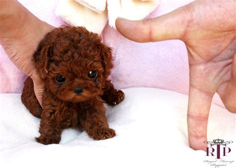 tiny poodle lifespan teacup poodles precious micro teacup poodles baby betty