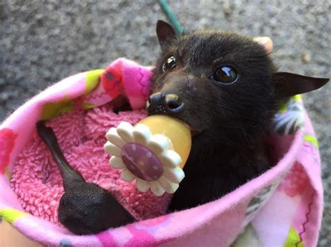 fruit bat this fruit bat is an important part of the ecosystem she