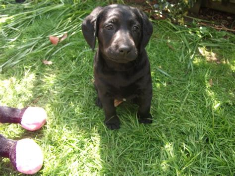 labrador doodle puppies for sale labrador type labradoodle winchester hshire pets4homes