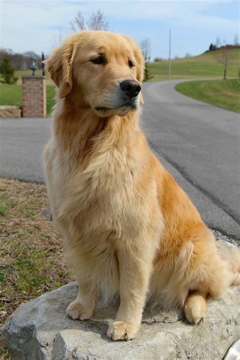 top golden retriever names best 25 golden retriever labrador ideas on