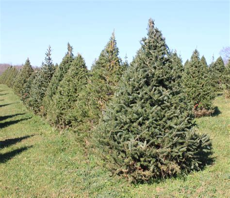 canaan fir a a christmas tree farm
