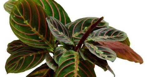 Bibit Tanaman Hias Calathea Peacock Plant Koleksi Tanaman Hias Striped Pink Calathea Maranta