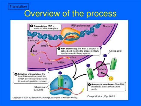 protein synthesis steps 6 protein synthesis and tracking