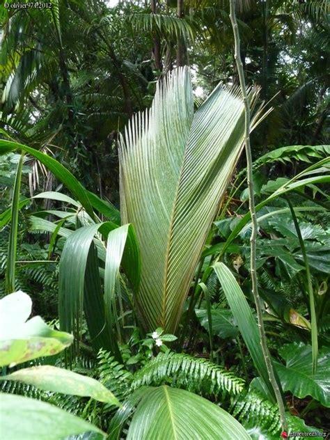 phoenicophorium borsigianum le jardin des parfums et des