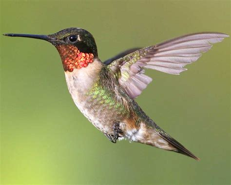 hummingbird flies 1300 miles without stopping in