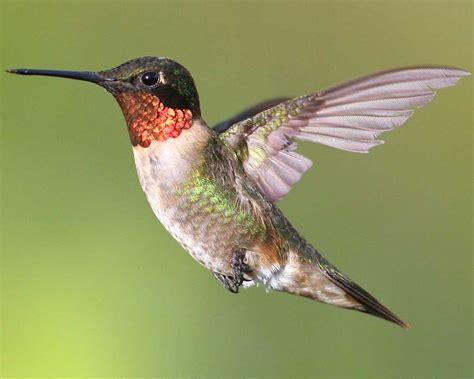 Humming Bird ruby throated hummingbird audubon field guide