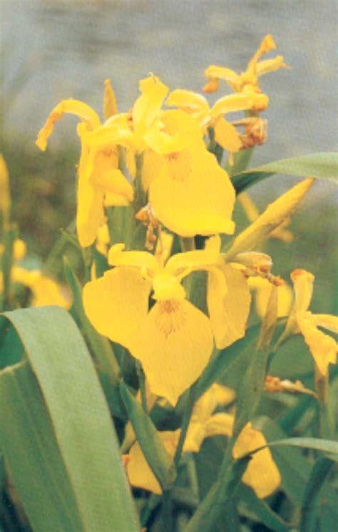 giaggiolo fiore giaggiolo