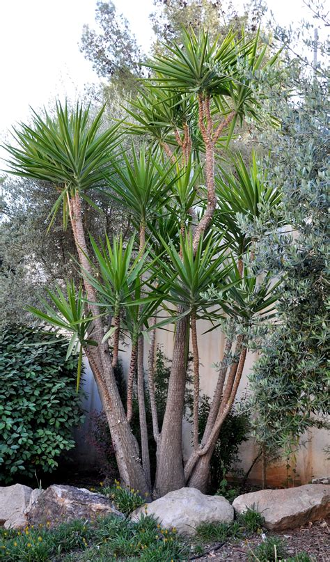 Tropical Yucca Plant by Yucca Plants Search Plants Yucca