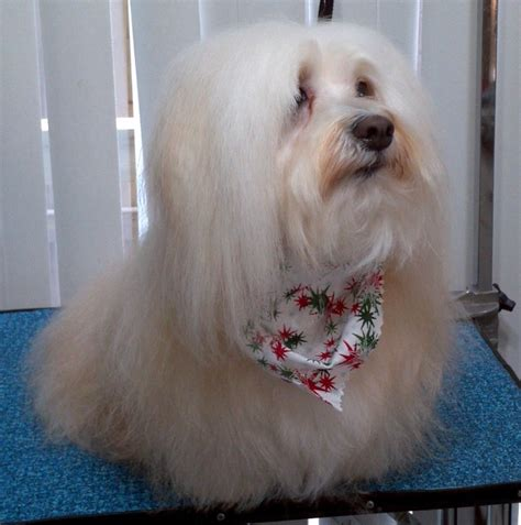 havanese show 8 best ideas about havanese on coats pets and teddy bears