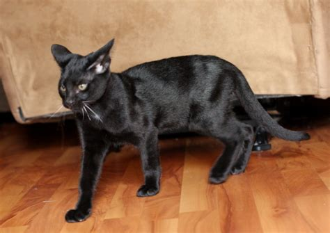 black savannah cat world s all amazing things pictures images and wallpapers