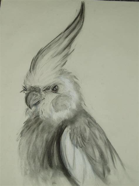 normal sketch drawing normal grey cockatiel by supercrazzy on deviantart