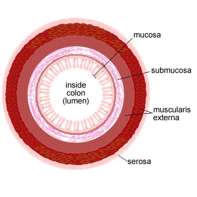 colon sections inquiring into homeostasis