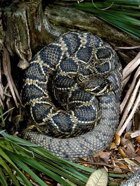 grey diamond pattern snake 1000 images about rattlesnakes on pinterest aruba
