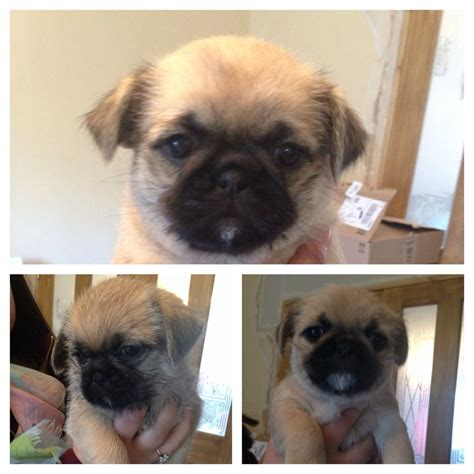pug tzu for sale lovely pug cross shih tzu puppies for sale derby derbyshire pets4homes