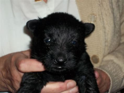 scottie puppies for sale pedigree scottie puppies all sold bedford bedfordshire pets4homes