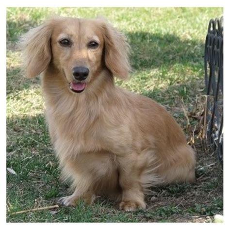 dachshund puppies wi starlight dachshund dachshund breeder in augusta wisconsin listing id 21758