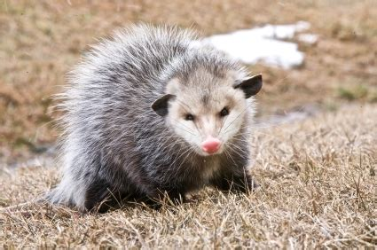 how do you get rid of possums in the backyard do you need to get rid of possums
