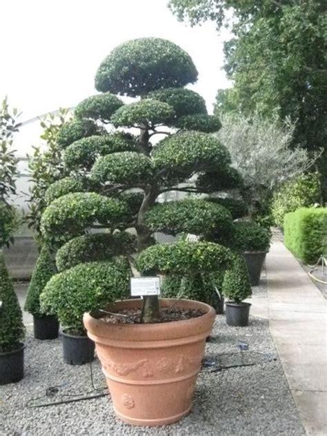 arbres nuage japonais bonsai geant juniperus virg