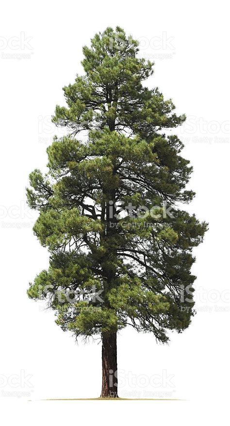 pine tree ponderosa pine tree isolated on white background stock