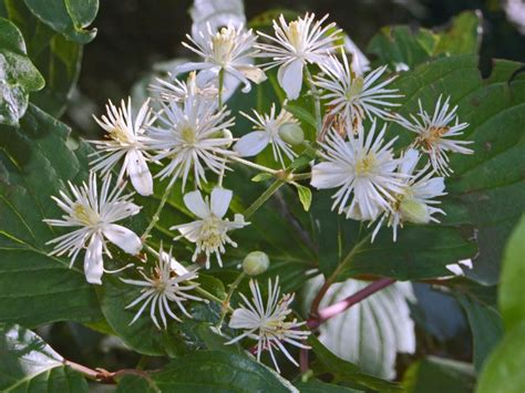 clematis fiore di bach clematis clematide vitalba fiore di bach