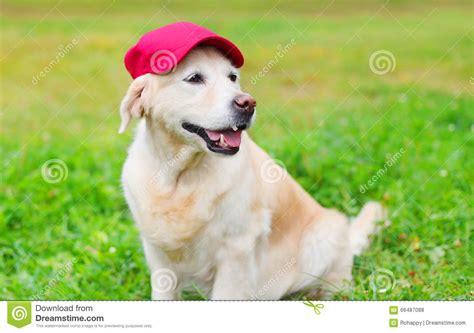 golden retriever baseball happy golden retriever on grass in baseball cap stock photo image 66487088