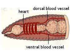 earthworm dissection quizlet earthworm anatomy flashcards quizlet