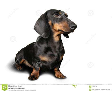 Black And Brown Black And Brown Dachshund On Stock Photo Image