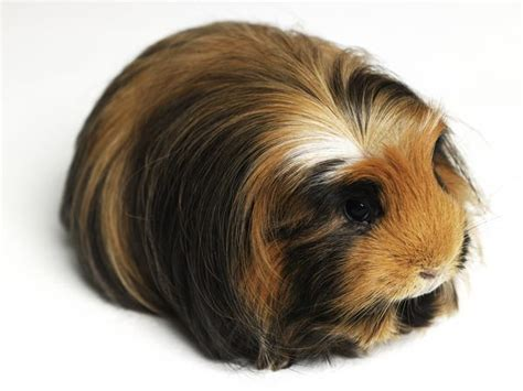 do dogs get hairballs do guinea pigs get hairballs animals me