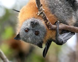 Grey headed flying fox male close up view by vivien jones photo from
