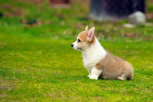 Corgi Puppies The 30 Cutest Corgi Puppies Of All Time The Stuff Makes