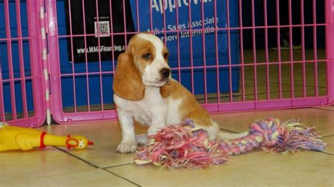 basset hound puppies for sale in ga precious brown white basset hound puppies for sale in at atlanta columbus