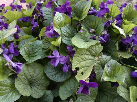 fiori violette foto violette selvatiche ammaestrate d foto nokia n8