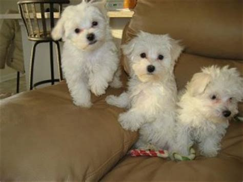 free puppies in hickory nc dogs carolina free classified ads