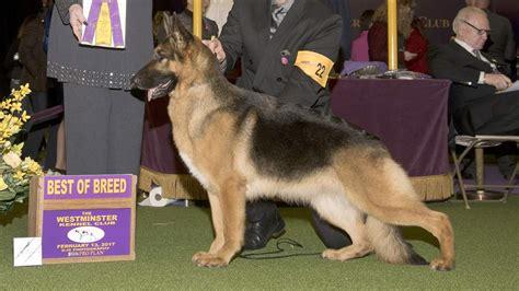rumor german shepherd local german shepherd rumor wins westminster crown the blade