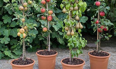 piante da frutto in vaso fino a 3 piante da frutto con vaso groupon