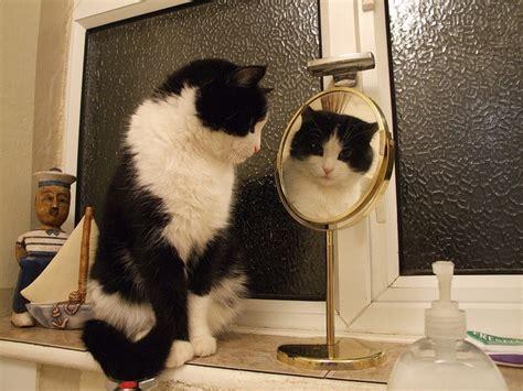 Cat Mirror cat in mirror cat