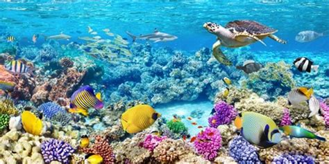 Sea turtle and fish malian coral reef fine art print by pangea images at fulcrumgallery com
