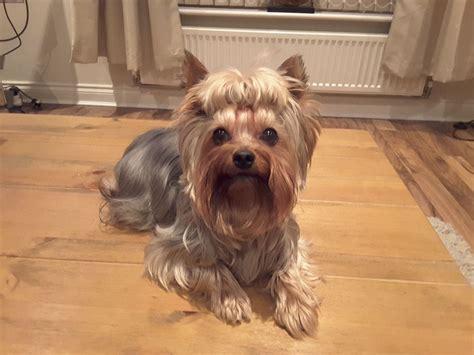 miniature yorkie puppy miniature terrier for stud oldbury west midlands pets4homes