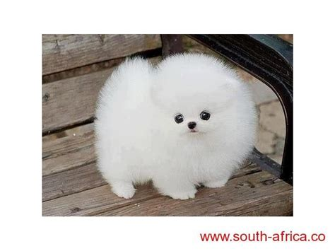 snow white pomeranian puppies sale the 25 best pekingese puppies for sale ideas on pekingese puppies