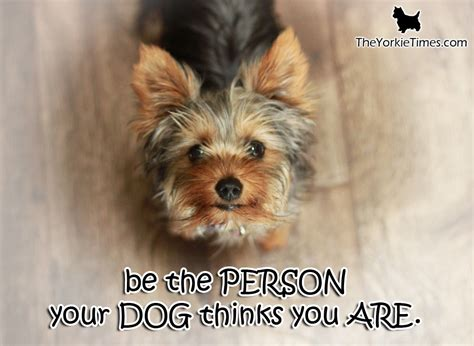 yorkie splash and shine shoo terrier be the best person